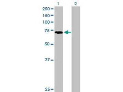 Mouse Anti-PABPC3 Antibody