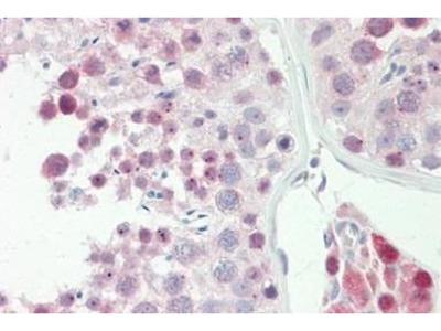 Rabbit Anti-SPIN Antibody