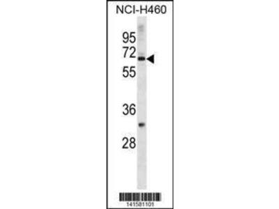 Rabbit Anti-ZNF185, NT Antibody