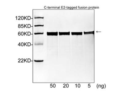 E2 Tag Monoclonal Antibody