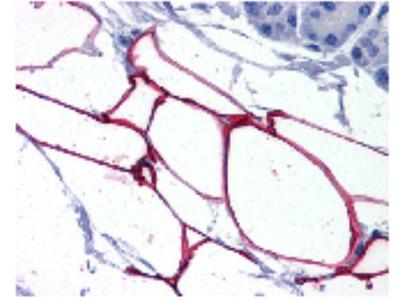 Goat Anti-PLIN4 Antibody