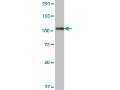 Mouse Anti-SH3MD2 Antibody