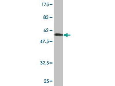 Mouse Anti-UNC84A Antibody