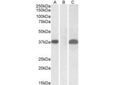Goat Anti-PIM2 Antibody