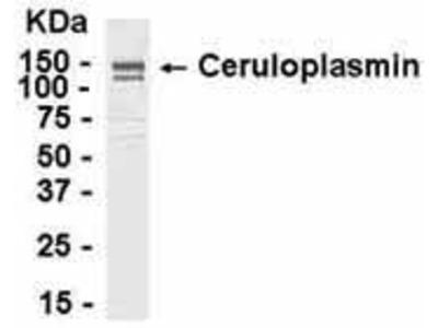 Chicken Anti-Ceruloplasmin Antibody