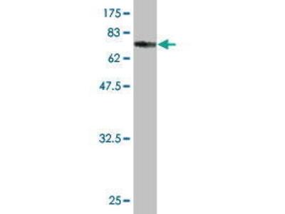 Mouse Anti-TLE6 Antibody