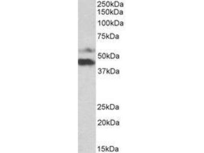 Goat Anti-PYROXD1 Antibody