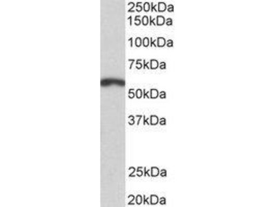 Goat Anti-PAX3 Antibody