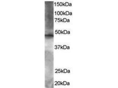 Goat Anti-BRF2 Antibody