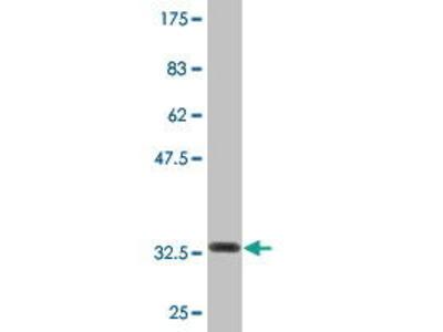 Mouse Anti-COX15 Antibody
