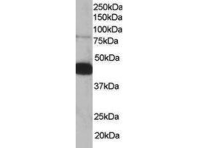 Goat Anti-Pleckstrin Antibody