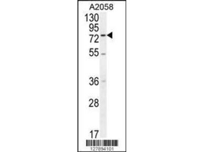 Rabbit Anti-ENTHD1, NT Antibody
