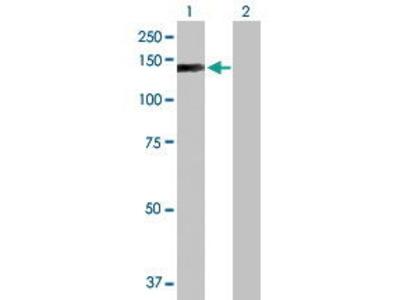 Mouse Anti-EP400 Antibody