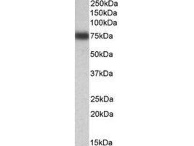 Goat Anti-IRF2BP1 Antibody