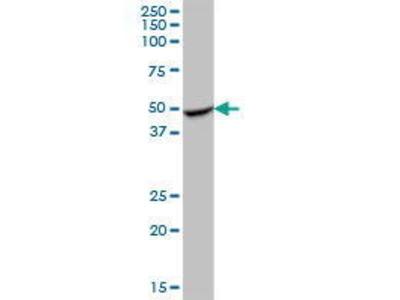 Mouse Anti-RILPL1 Antibody
