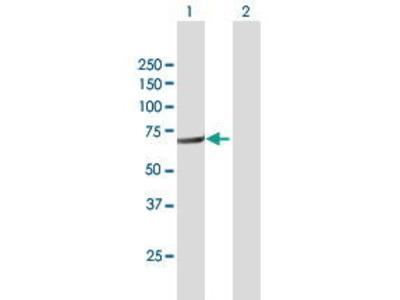 Mouse Anti-FERMT3 Antibody