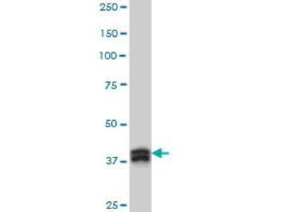 Mouse Anti-MBNL1 Antibody