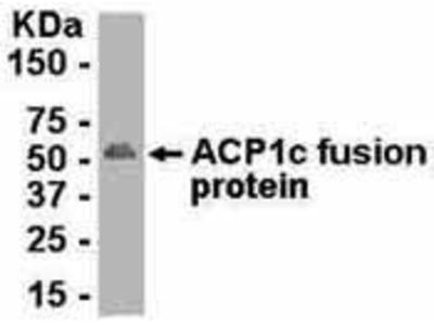 Chicken Anti-Acid Phosphatase 1a Antibody