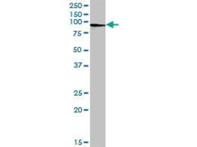 Mouse Anti-Afamin Antibody