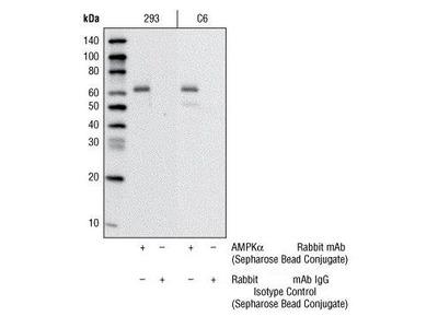 Rabbit Anti-AMP Activated Protein Kinase alpha 1 Antibody (Sepharose)