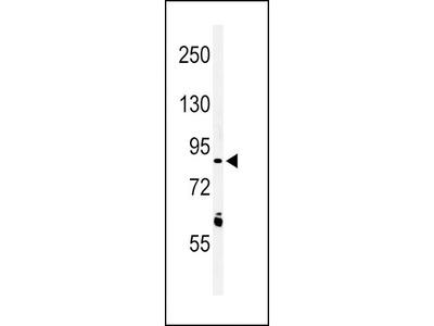 Rabbit Anti-LRRN3, NT Antibody