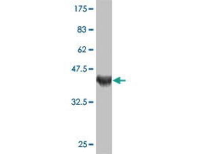 Mouse Anti-TSGA2 Antibody