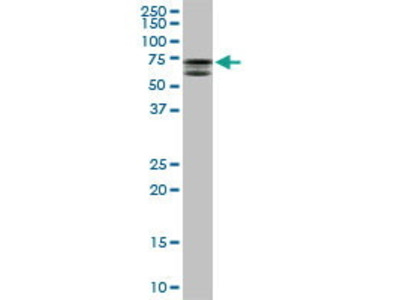 Mouse Anti-MTMR2 Antibody
