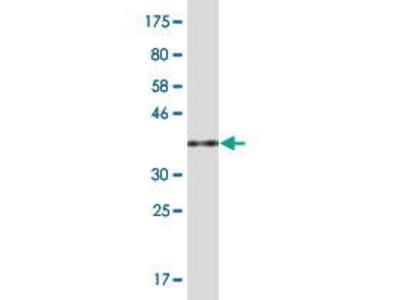 Mouse Anti-PCF11 Antibody