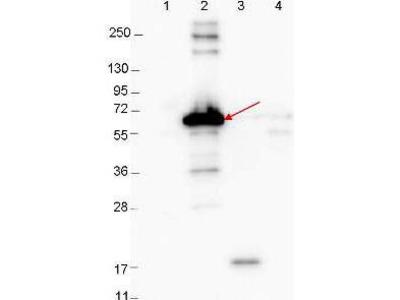 Rabbit Anti-DBP Antibody
