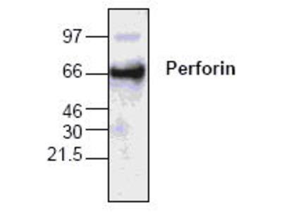 Rabbit Anti-Perforin Antibody