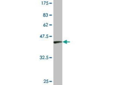 Mouse Anti-FLJ23356 Antibody