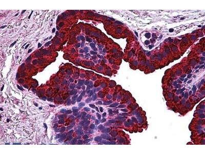 Mouse Anti-BCAS1 Antibody