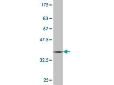 Mouse Anti-PCDHB12 Antibody