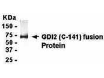 Chicken Anti-GDP-Dissociation Inhibitor 2 Antibody