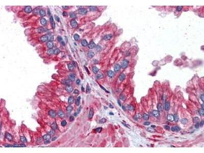 Mouse Anti-Tubulin alpha 4A Chain Antibody