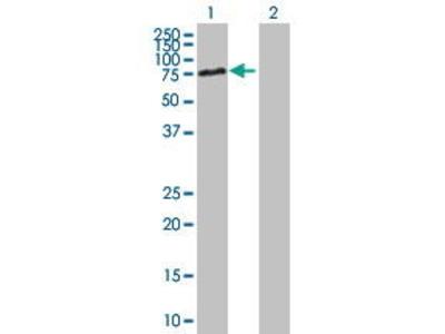 Mouse Anti-DBR1 Antibody
