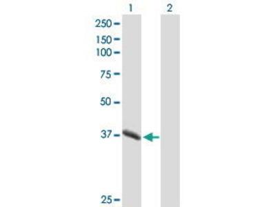 Mouse Anti-PGC Antibody