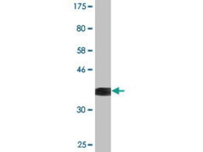 Mouse Anti-NFIX Antibody