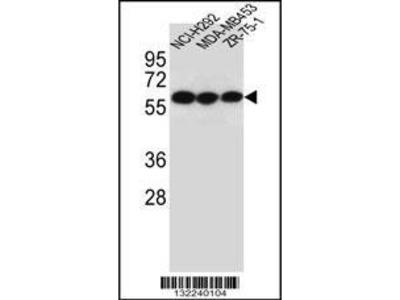 Rabbit Anti-CHRNA10, ID Antibody