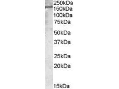 Goat Anti-Podocalyxin Antibody