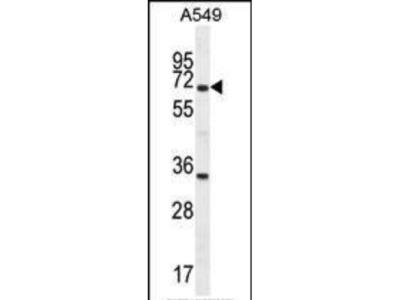 Rabbit Anti-CLU, NT Antibody