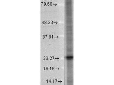Mouse Anti-SNAP 25 Antibody