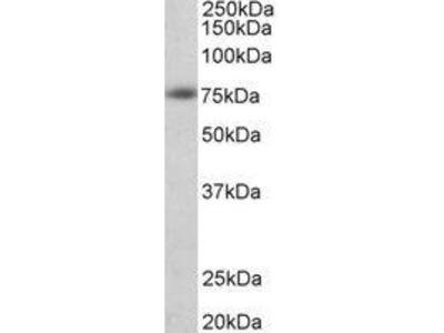 Goat Anti-Amyloid beta Peptide Antibody