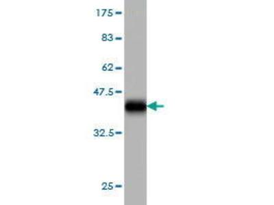Mouse Anti-MAN1B1 Antibody