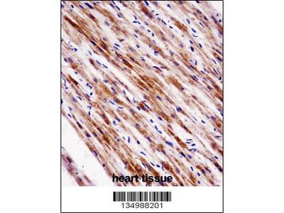 Rabbit Anti-NR1D2, ID Antibody