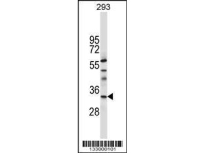 Rabbit Anti-TAF8, ID Antibody