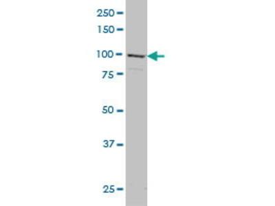 Mouse Anti-GRID1 Antibody