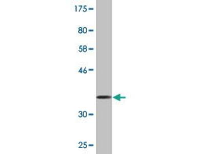 Mouse Anti-EphB1 Antibody