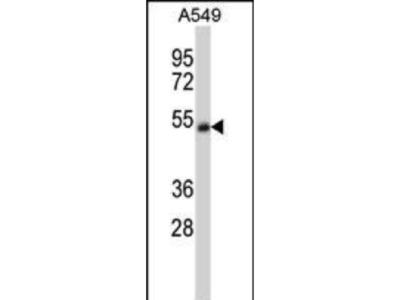 Rabbit Anti-CHRNA5, ID Antibody