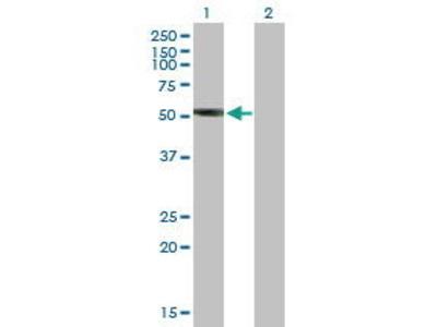 Mouse Anti-LILRA3 Antibody